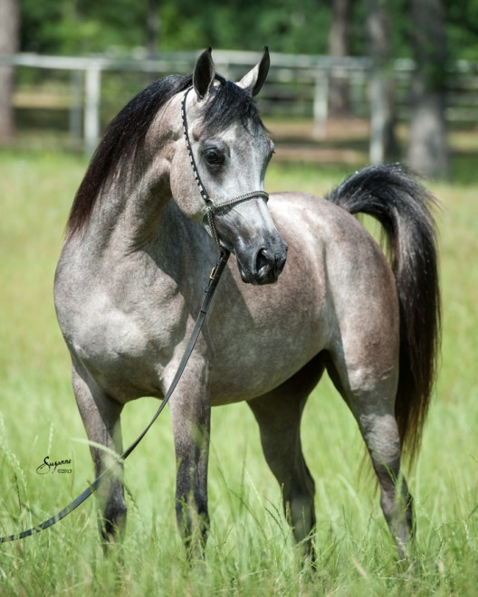 Farah Magidaa LDA grey Egyptian Arabian filly for sale